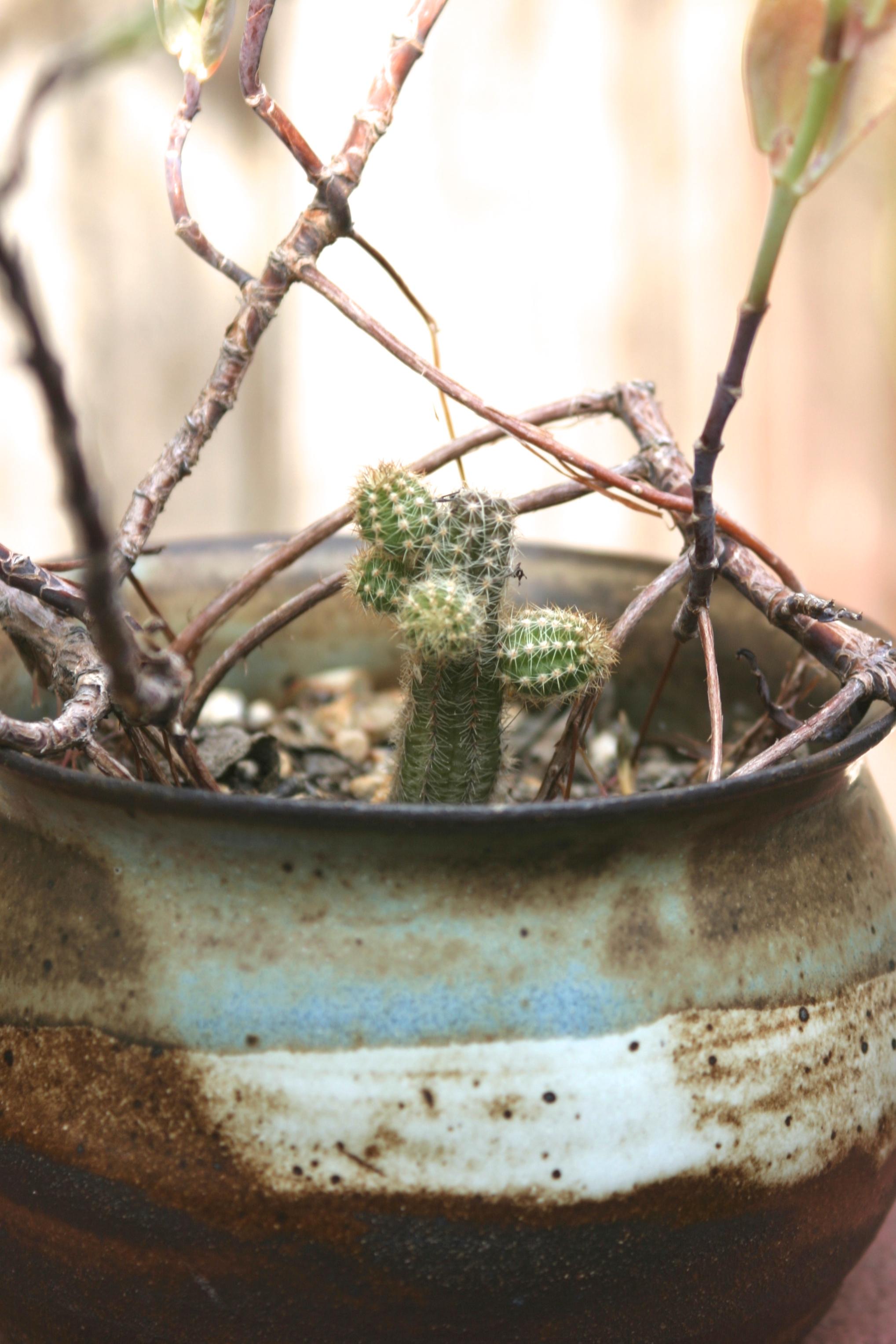 cactus, pot circa 2007